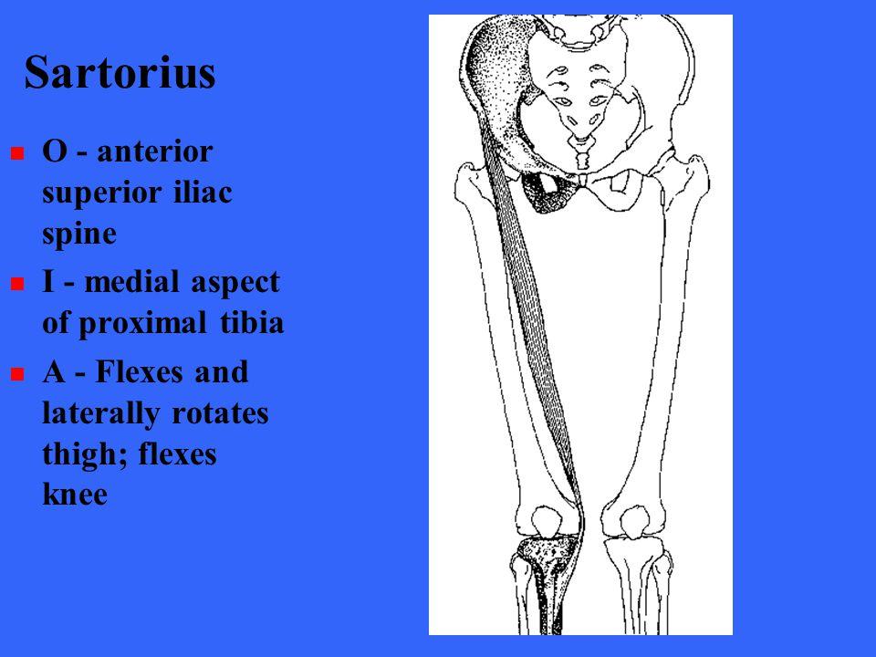 Sartorius O - anterior superior iliac spine