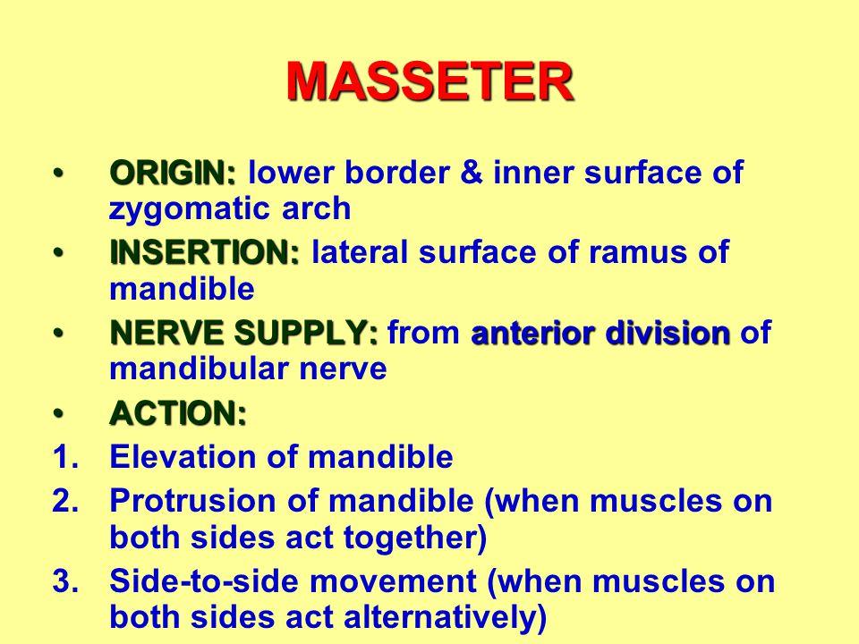MASSETER ORIGIN: lower border & inner surface of zygomatic arch
