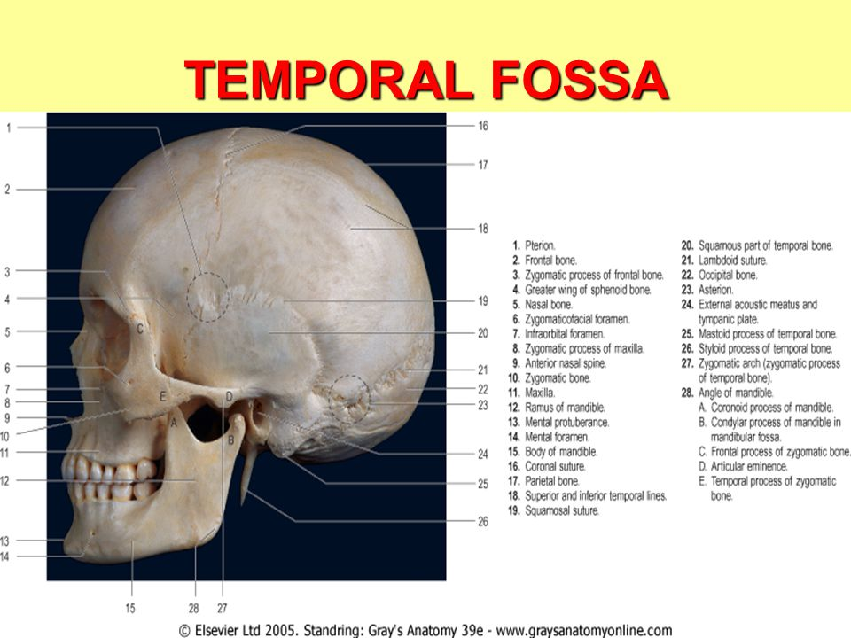 TEMPORAL & INFRATEMPORAL FOSSA I Dr. Ahmed Fathalla ... Infratemporal Fossa Boundaries