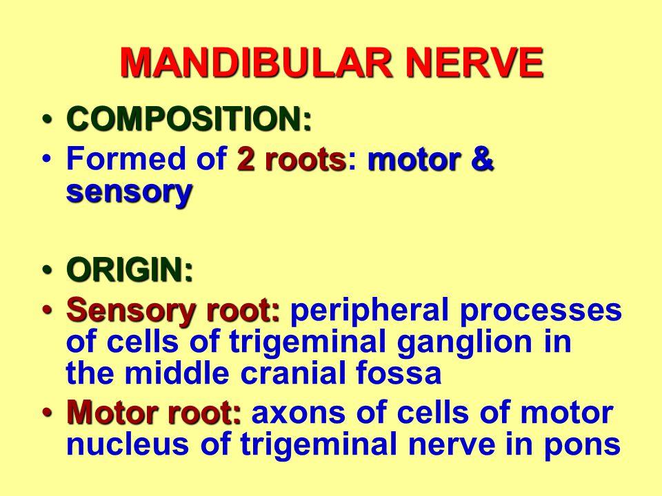 MANDIBULAR NERVE COMPOSITION: Formed of 2 roots: motor & sensory