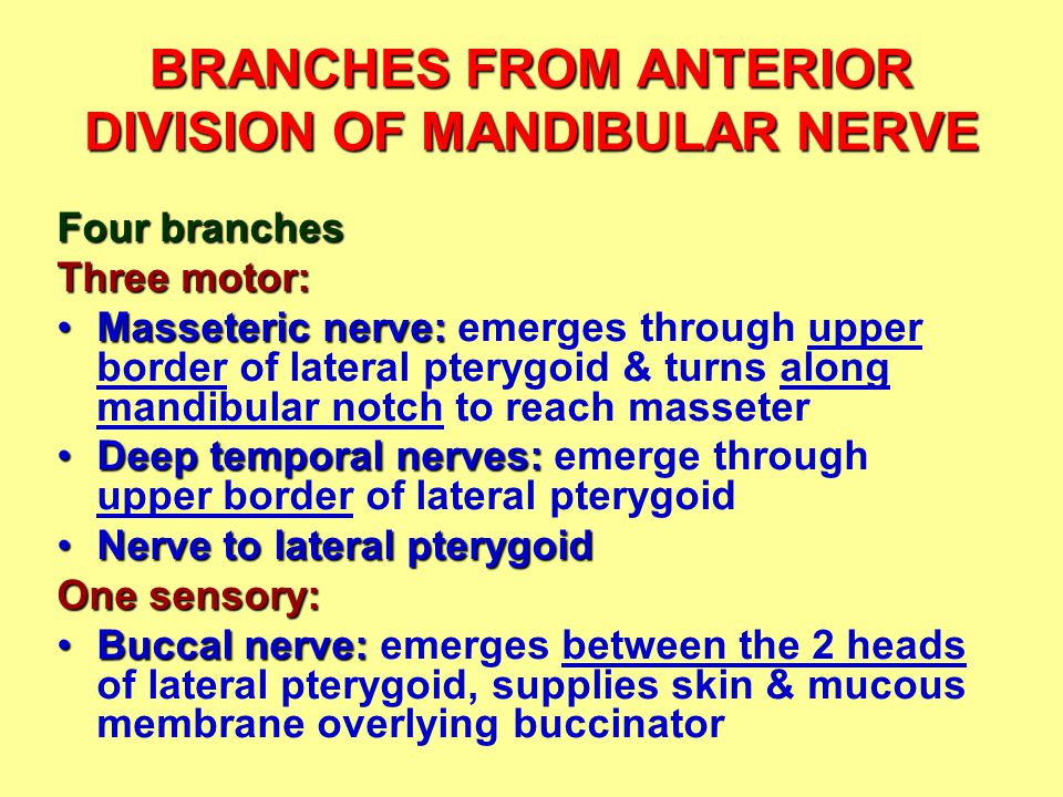 BRANCHES FROM ANTERIOR DIVISION OF MANDIBULAR NERVE