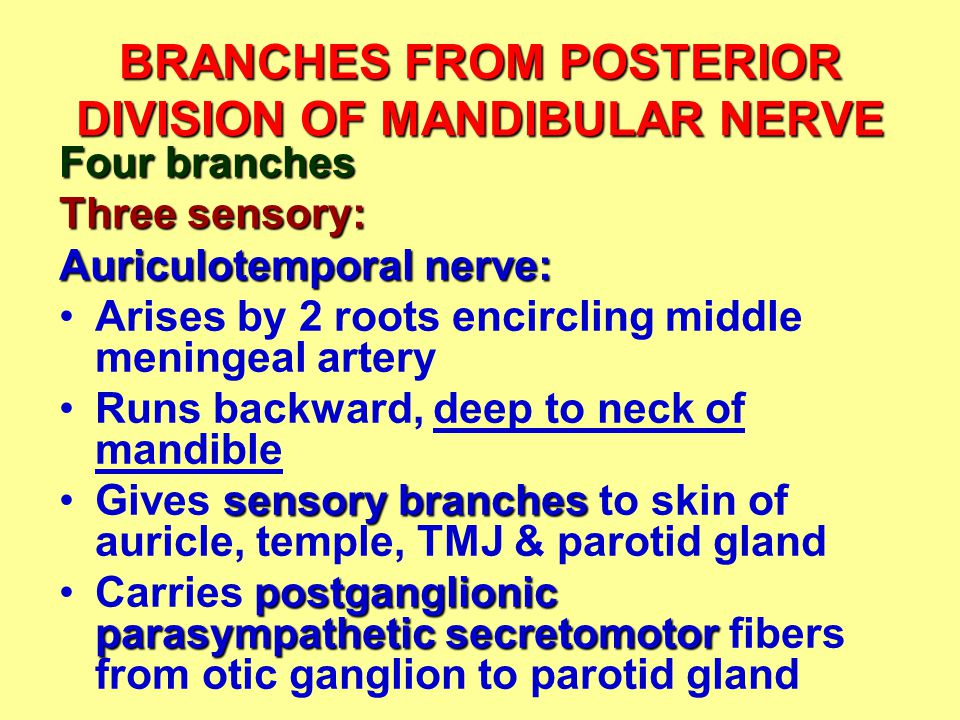 BRANCHES FROM POSTERIOR DIVISION OF MANDIBULAR NERVE