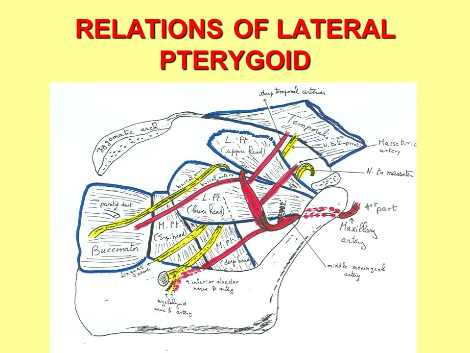 RELATIONS OF LATERAL PTERYGOID