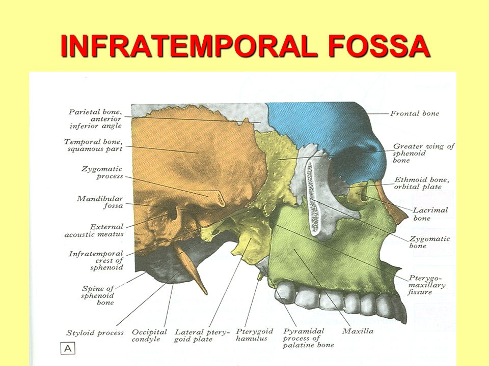 Infratemporal Fossa Contents