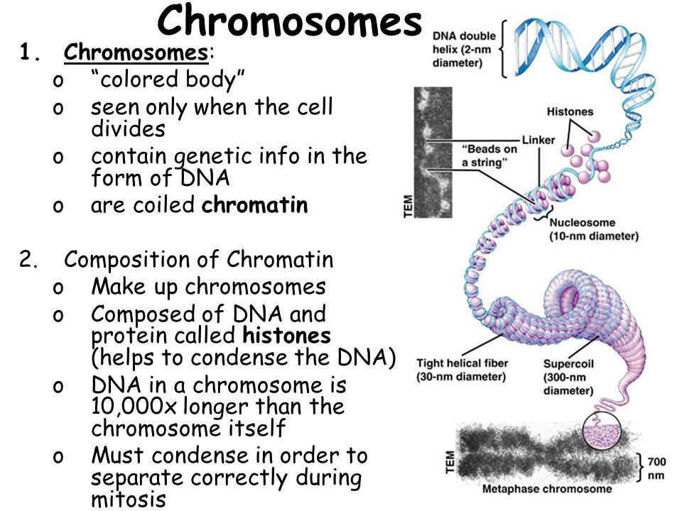 Chromosomes Chromosomes: colored body