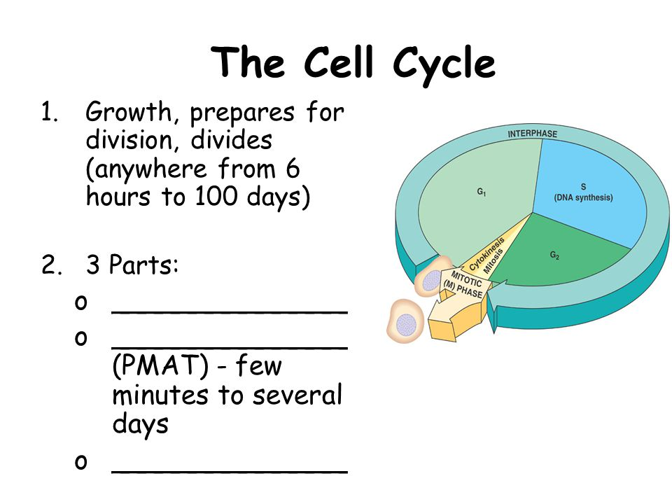 The Cell Cycle ______________
