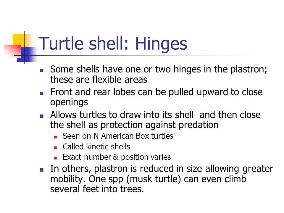 Turtle shell: Hinges Some shells have one or two hinges in the plastron; these are flexible areas.