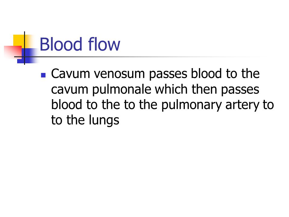 Blood flow Cavum venosum passes blood to the cavum pulmonale which then passes blood to the to the pulmonary artery to to the lungs.