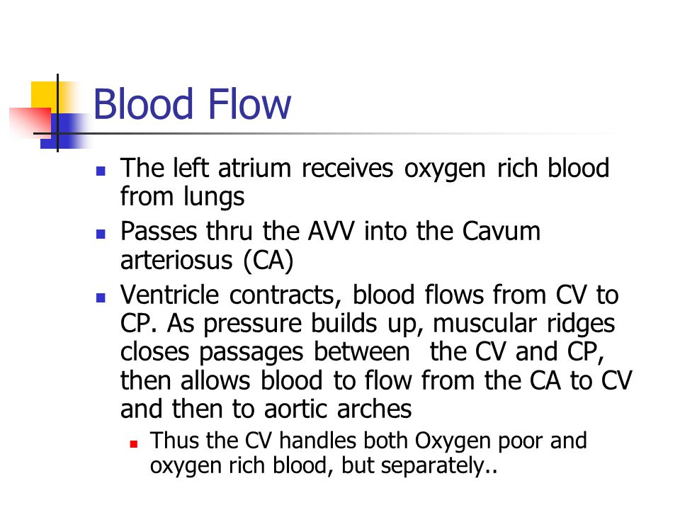 Blood Flow The left atrium receives oxygen rich blood from lungs