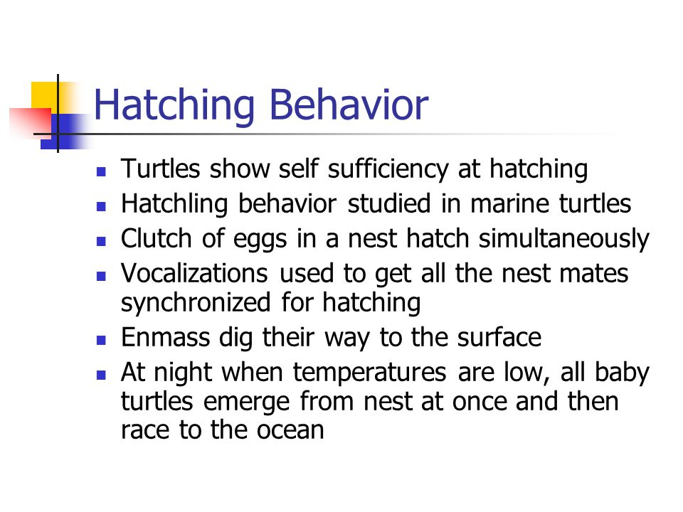Hatching Behavior Turtles show self sufficiency at hatching