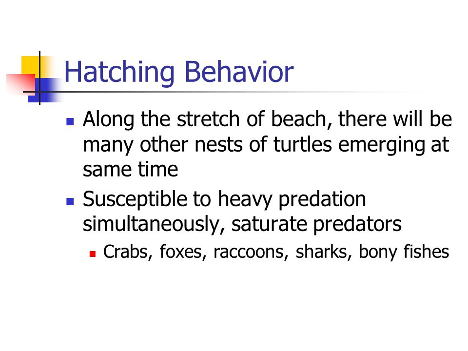 Hatching Behavior Along the stretch of beach, there will be many other nests of turtles emerging at same time.