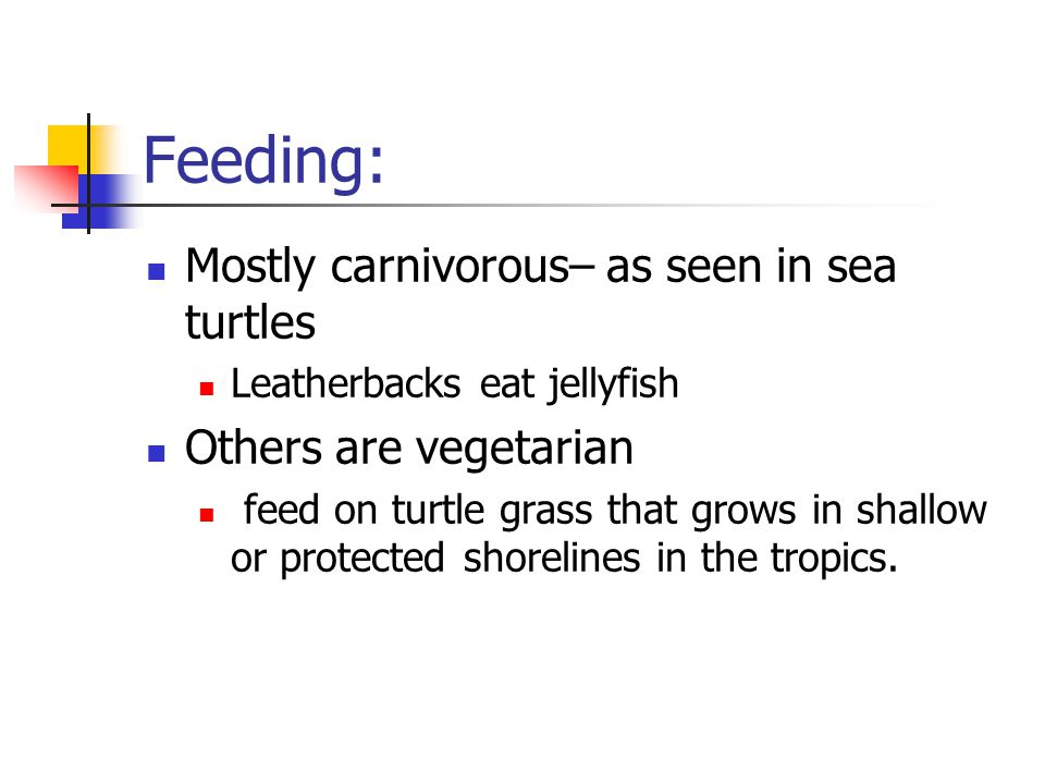 Feeding: Mostly carnivorous– as seen in sea turtles