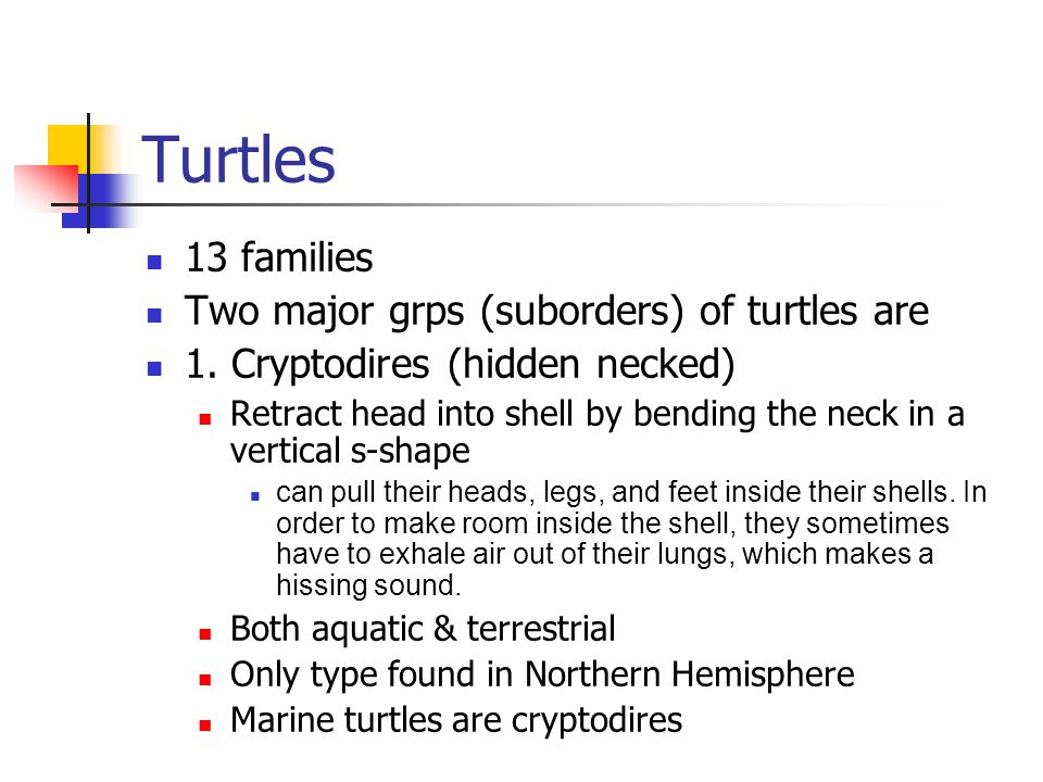 Turtles 13 families Two major grps (suborders) of turtles are