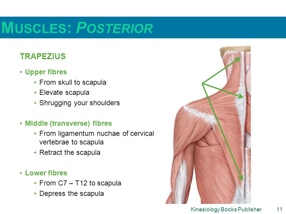 Muscles: Posterior Trapezius Upper fibres From skull to scapula