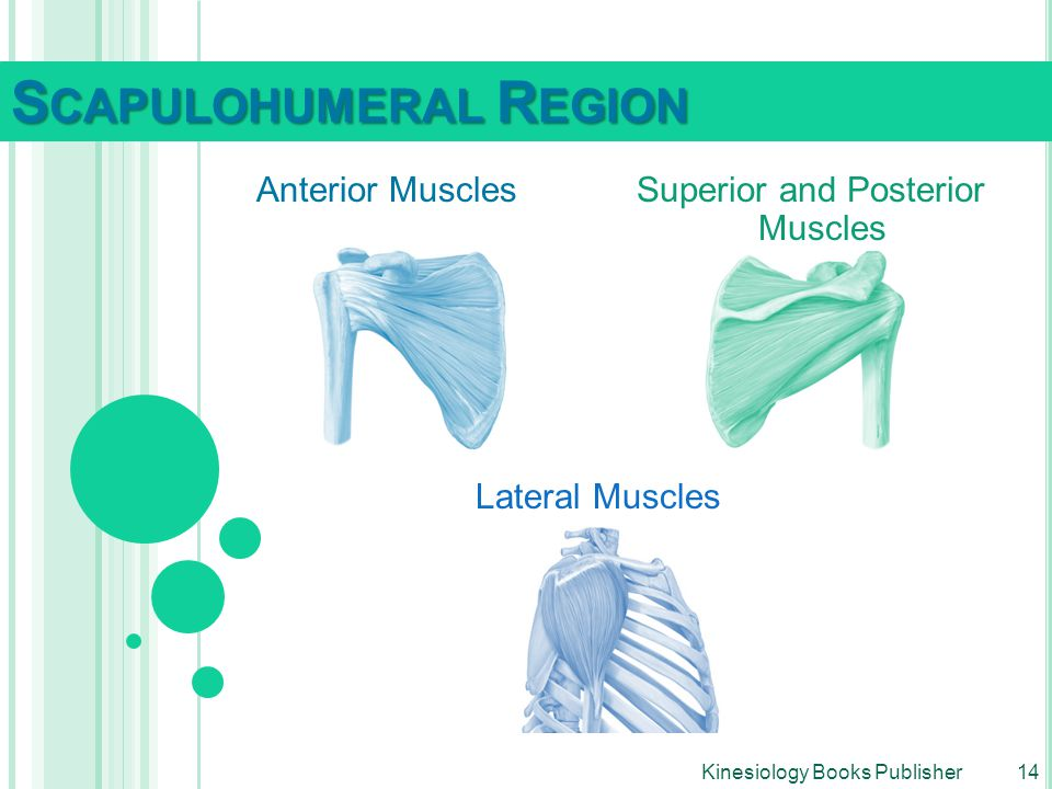 Superior and Posterior Muscles