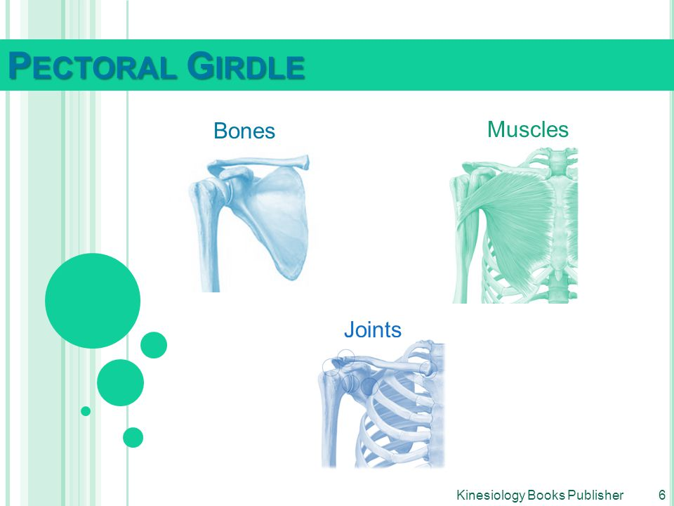 Pectoral Girdle Bones Muscles Joints Kinesiology Books Publisher 6