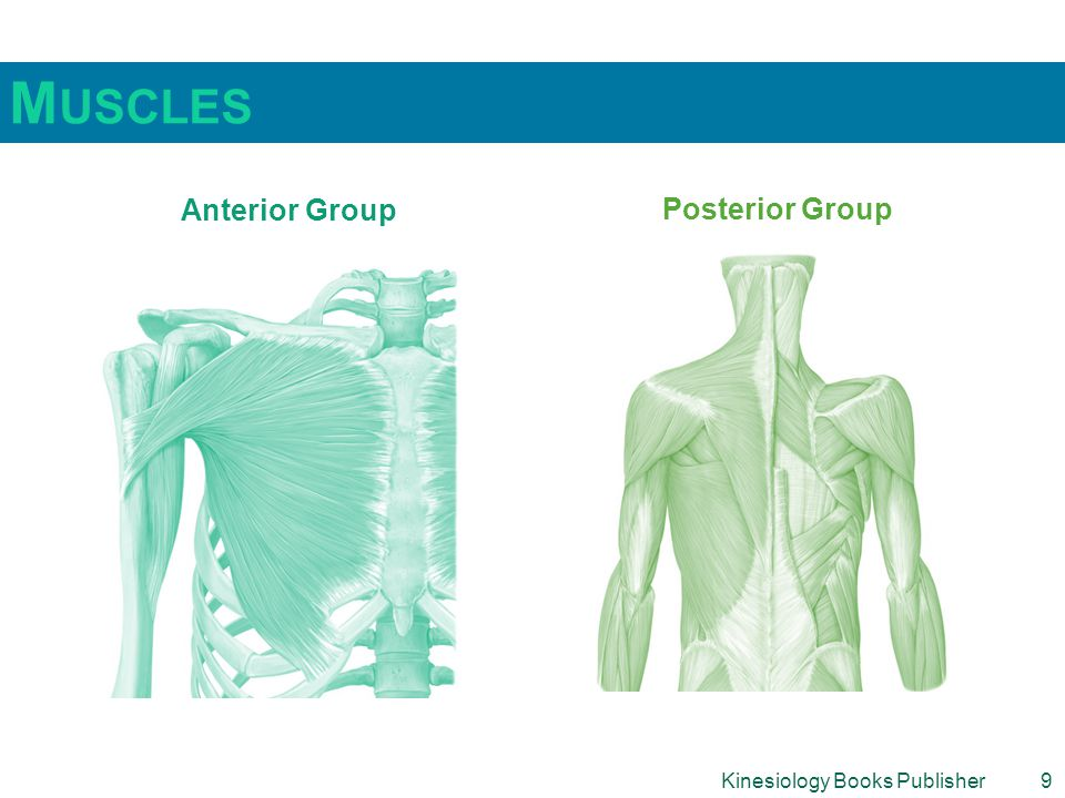 Muscles Anterior Group Posterior Group Kinesiology Books Publisher 9