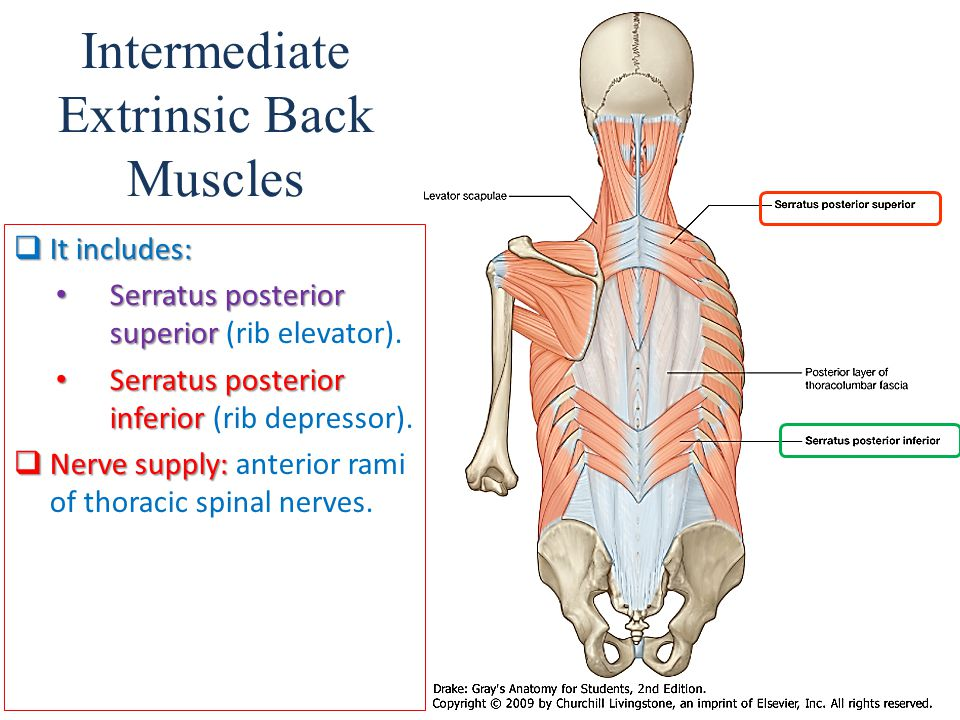 Muscles of back D.Rania Gabr D.Sama. D.Elsherbiny. - ppt video ...