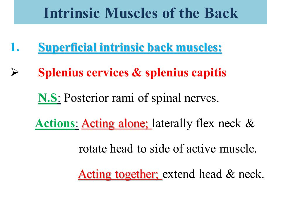 Intrinsic Muscles of the Back