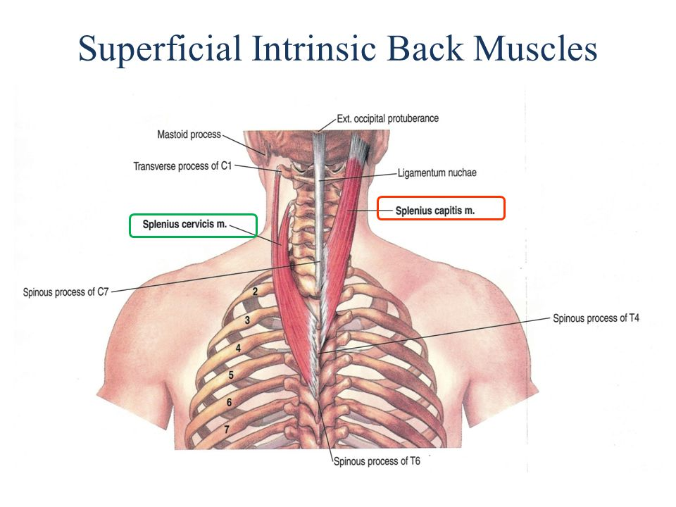 Superficial Intrinsic Back Muscles