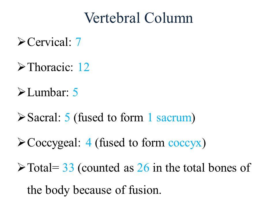 Vertebral Column Cervical: 7 Thoracic: 12 Lumbar: 5