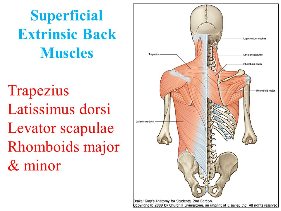 Superficial Extrinsic Back Muscles