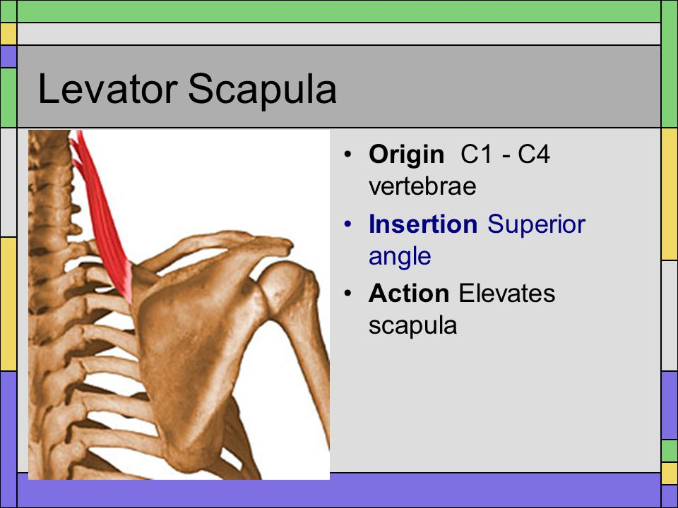 Levator Scapula Origin C1 - C4 vertebrae Insertion Superior angle