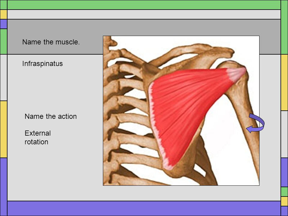 Name the muscle. Infraspinatus Name the action External rotation