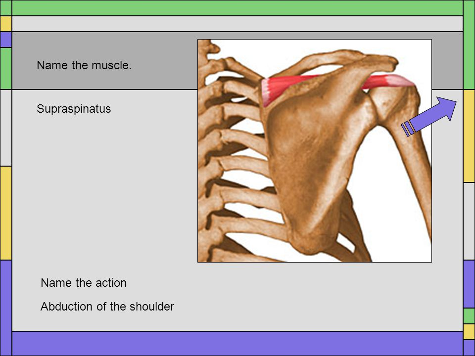 Name the muscle. Supraspinatus Name the action Abduction of the shoulder