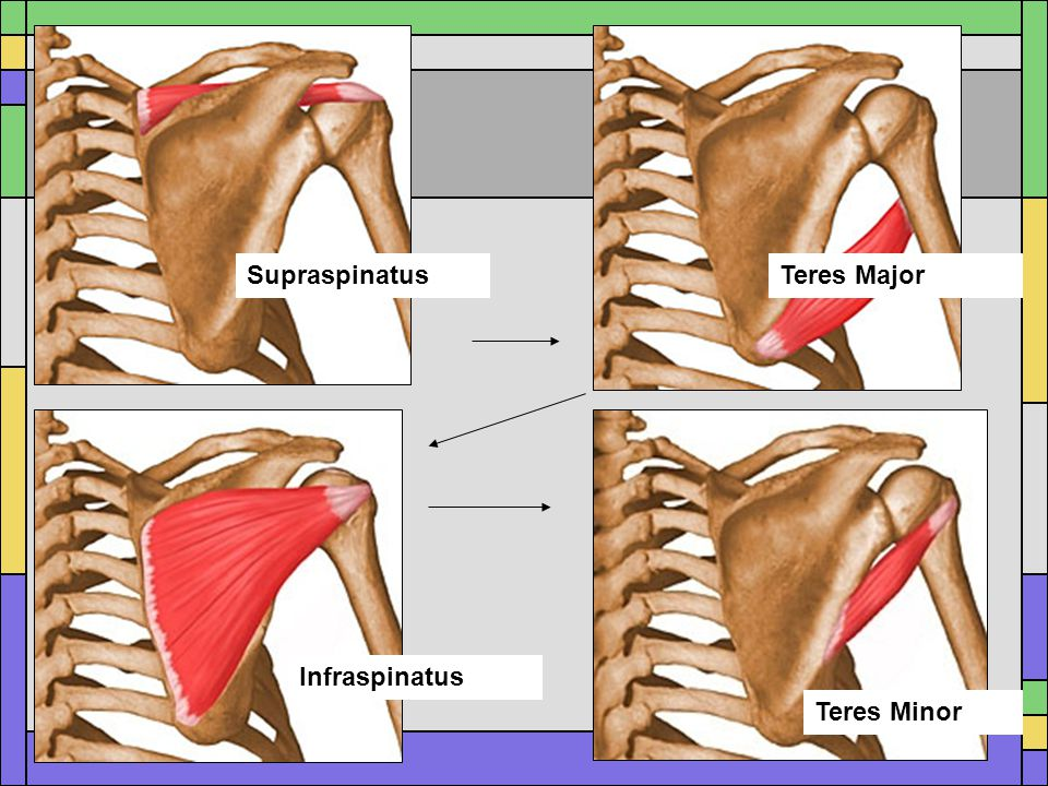 Supraspinatus Teres Major Infraspinatus Teres Minor