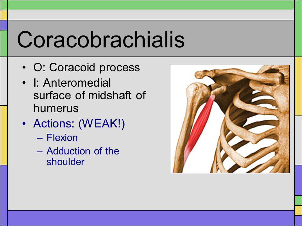 Coracobrachialis O: Coracoid process