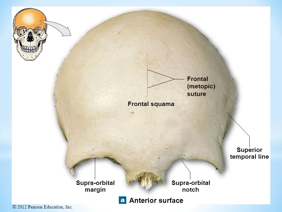 Anterior surface Frontal (metopic) suture Frontal squama Superior