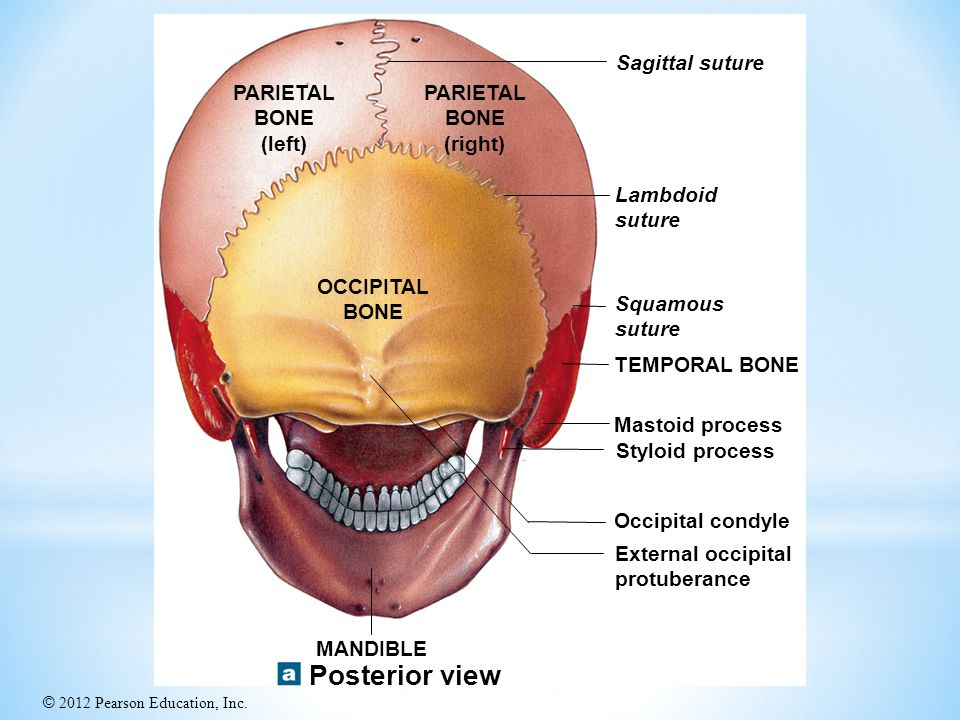 Posterior view Sagittal suture PARIETAL BONE (left) PARIETAL BONE
