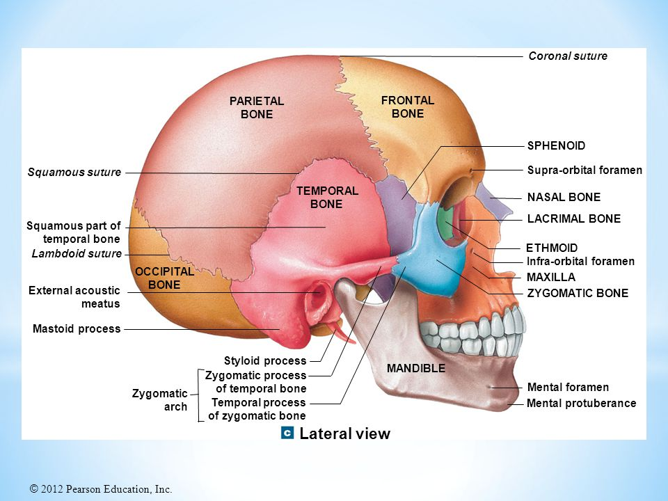 Lateral view Coronal suture PARIETAL BONE FRONTAL BONE SPHENOID