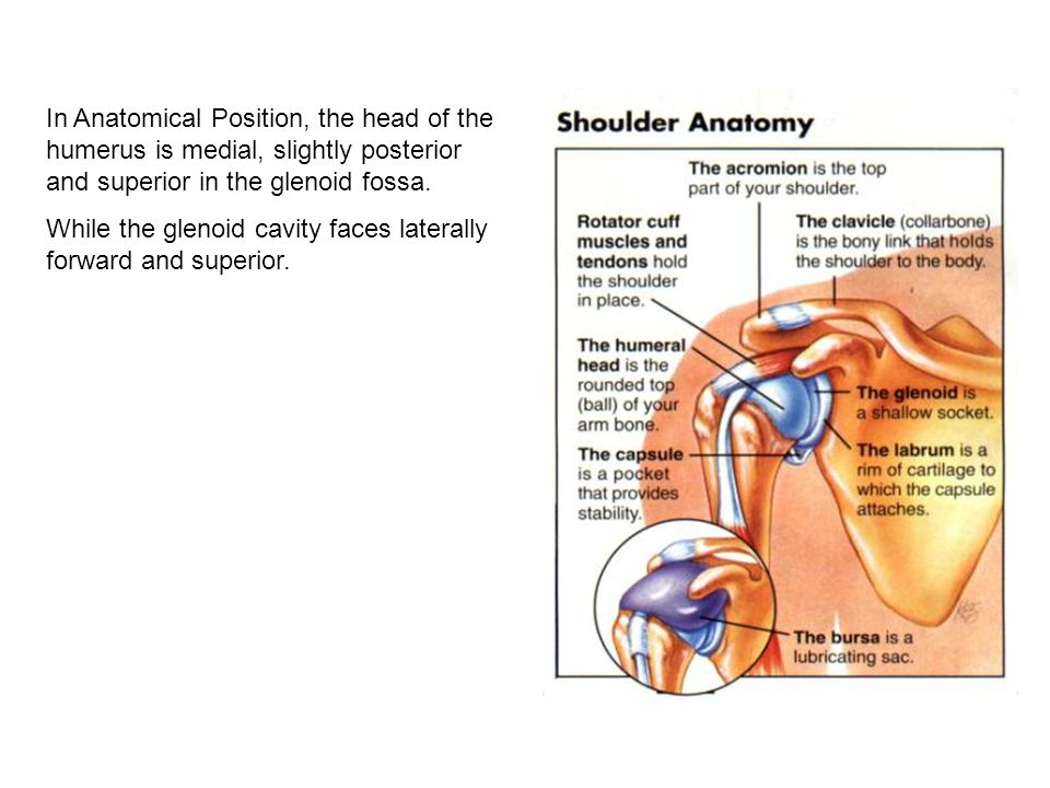 the shoulder = glenohumeral jt - ppt download, Cephalic Vein