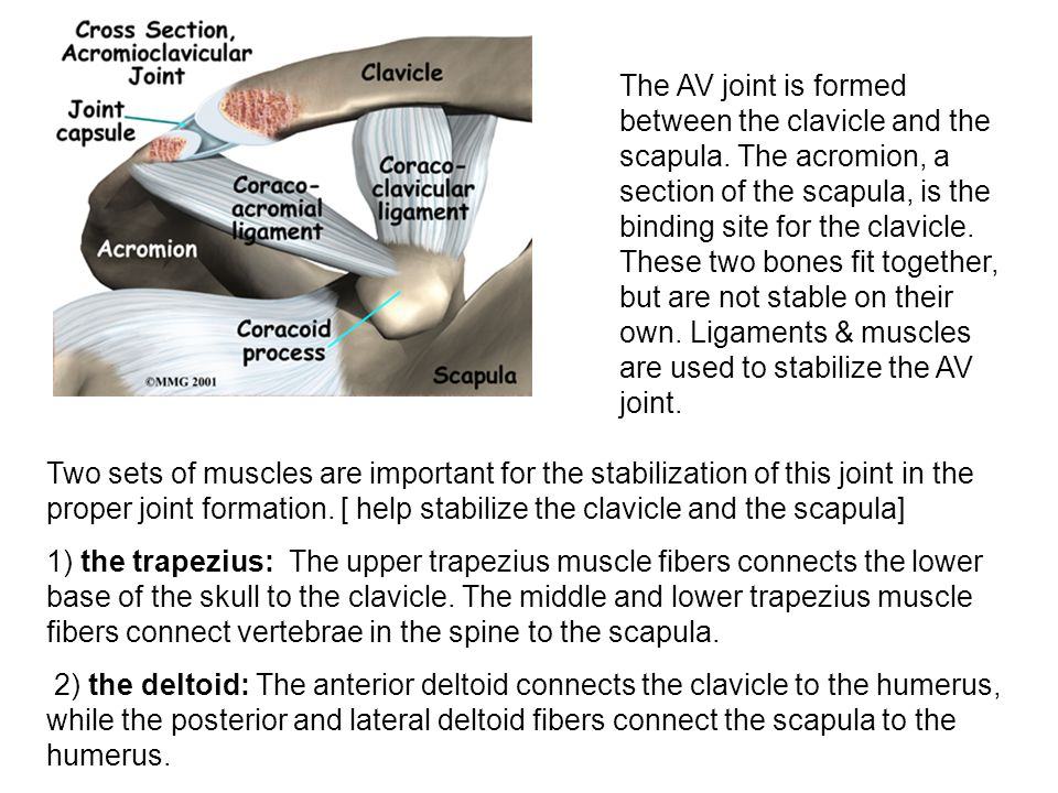 The AV joint is formed between the clavicle and the scapula