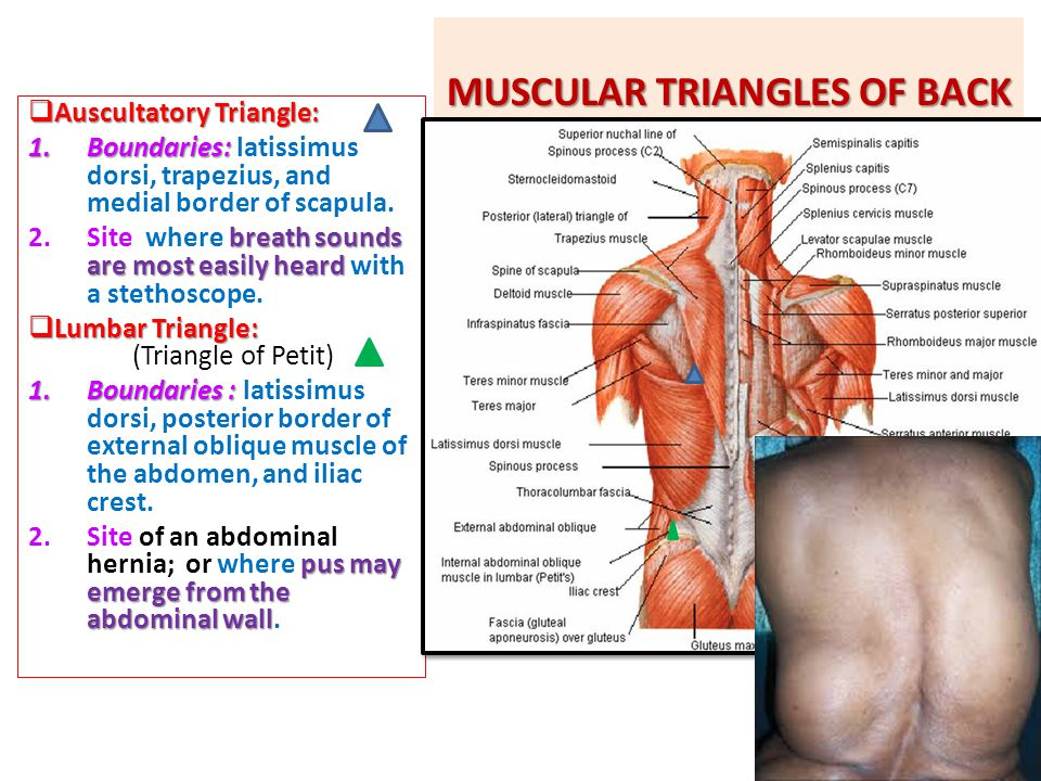 MUSCULAR TRIANGLES OF BACK