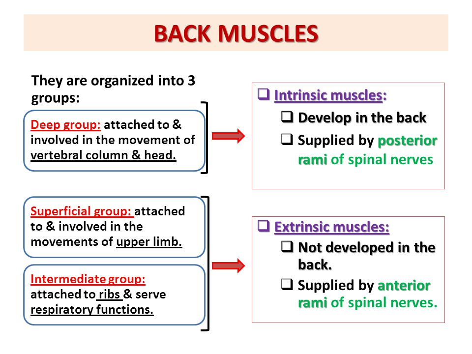 BACK MUSCLES They are organized into 3 groups: Intrinsic muscles: