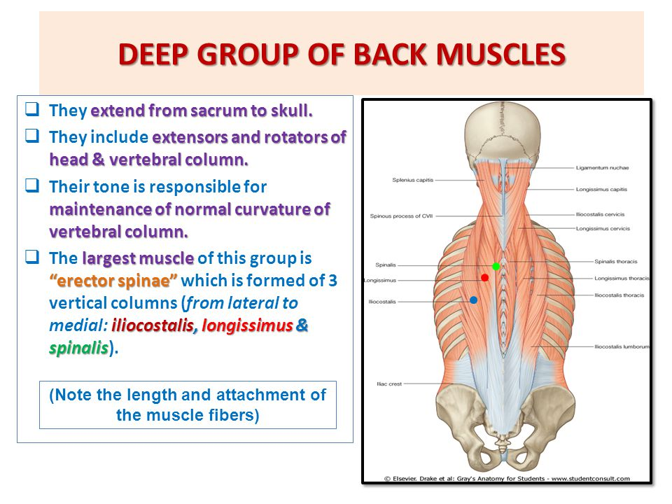 DEEP GROUP OF BACK MUSCLES