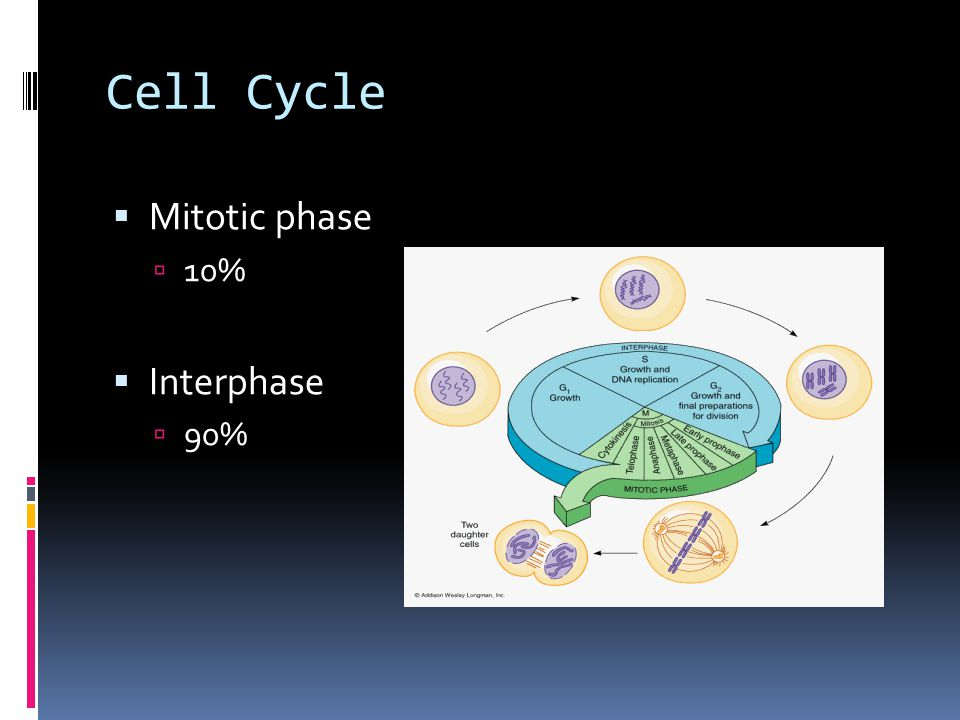 Cell Cycle Mitotic phase 10% Interphase 90%