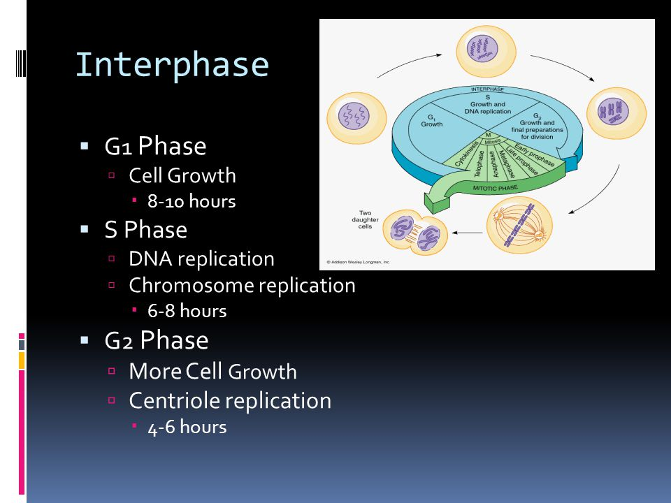 Interphase G1 Phase S Phase G2 Phase More Cell Growth