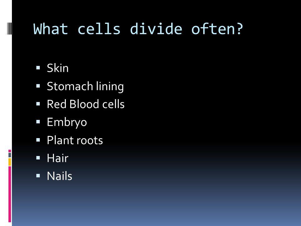 What cells divide often