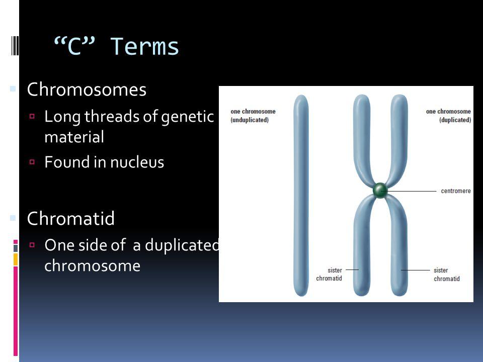 C Terms Chromosomes Chromatid Long threads of genetic material