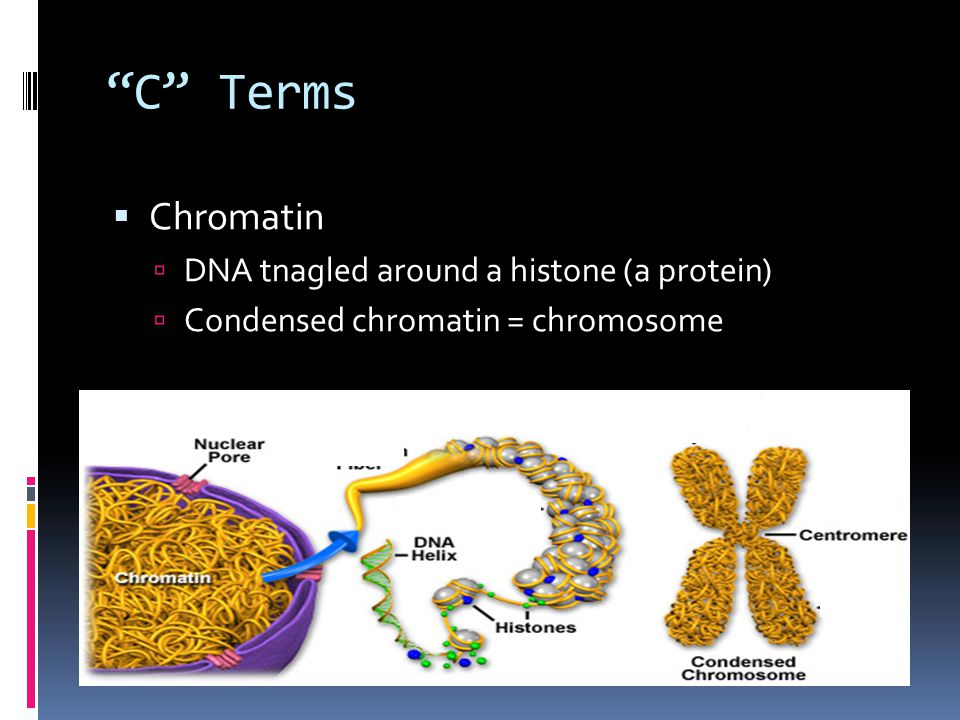 C Terms Chromatin DNA tnagled around a histone (a protein)