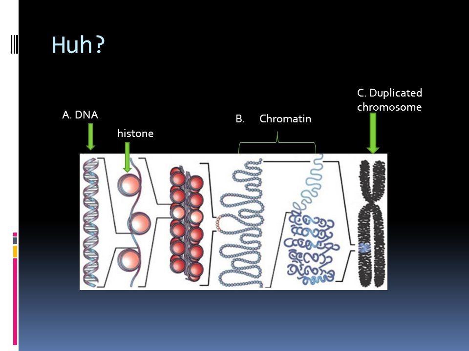 Huh C. Duplicated chromosome A. DNA B. Chromatin histone