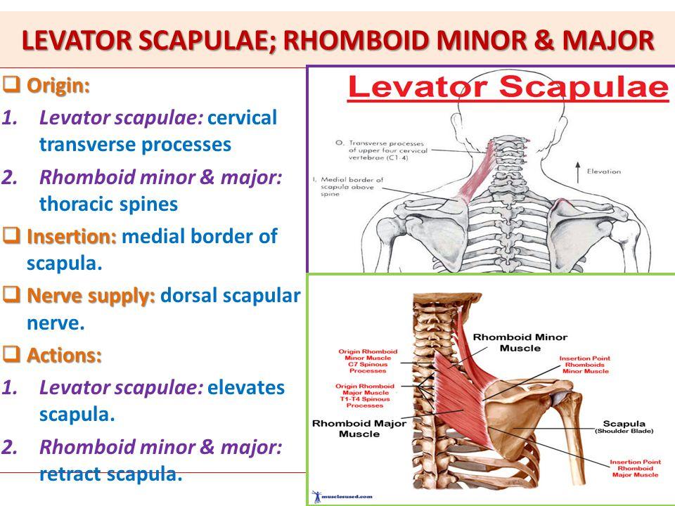 Levator scapulae exercises