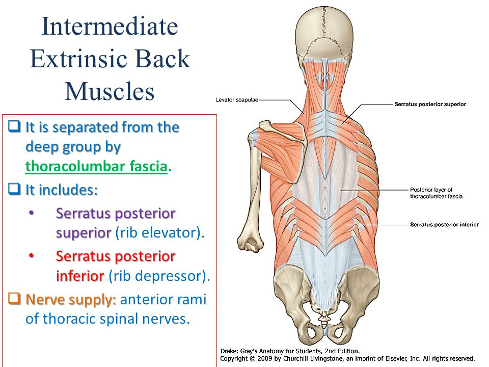 Intermediate Extrinsic Back Muscles