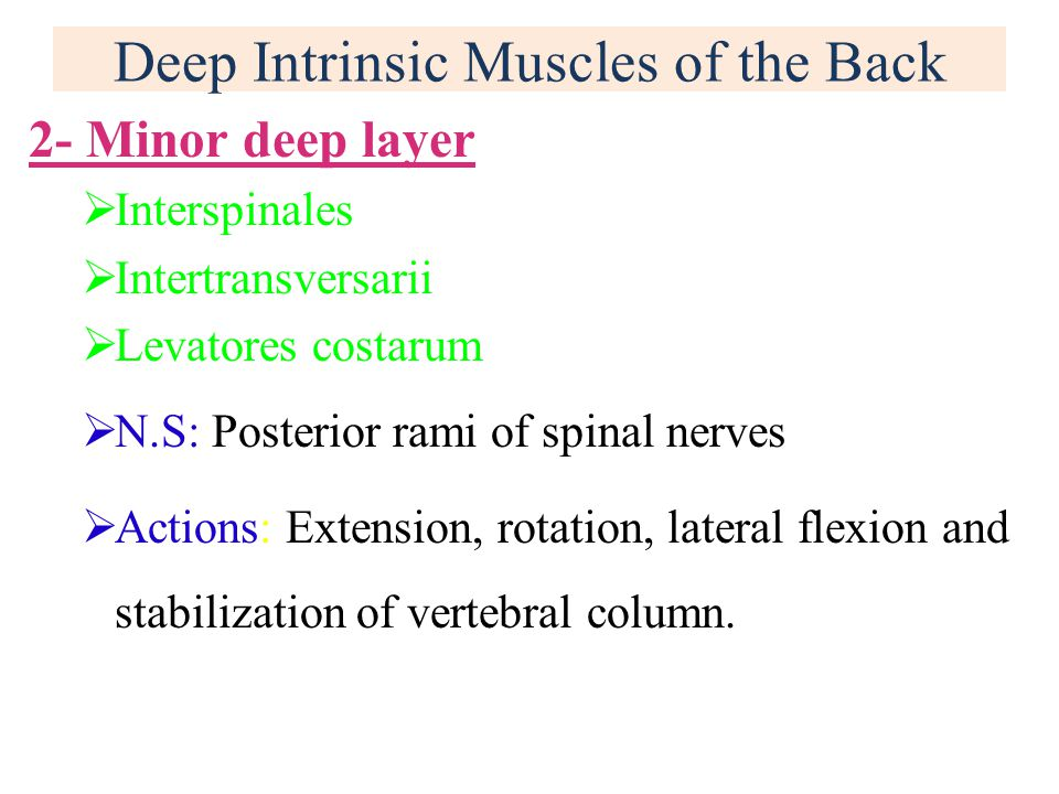 Deep Intrinsic Muscles of the Back