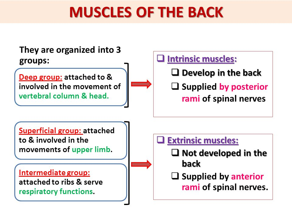 MUSCLES OF THE BACK They are organized into 3 groups: