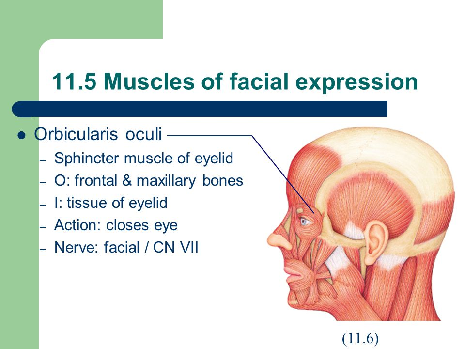 11.5 Muscles of facial expression